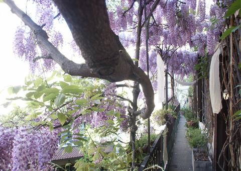 wisteria in the entrance