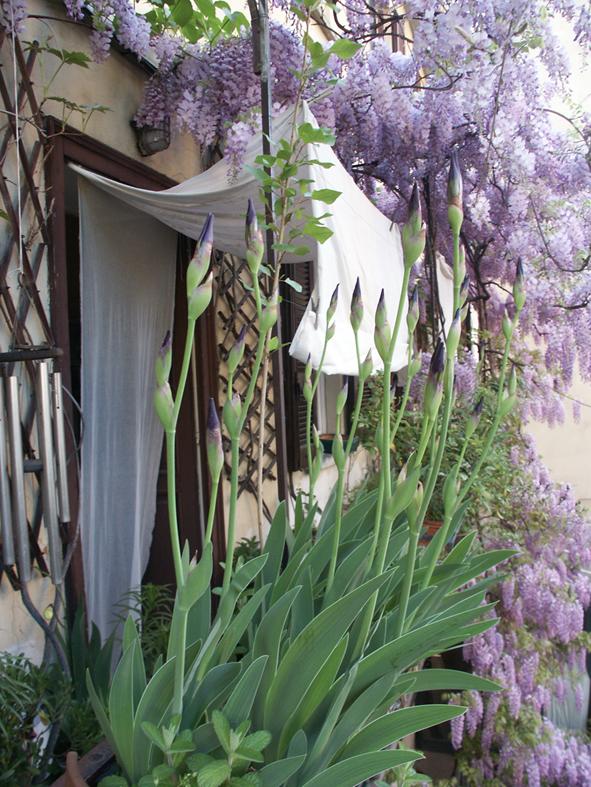 finestra con glicine e iris
